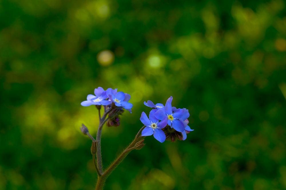 Photo in Nature #nature #myosotis #bokeh