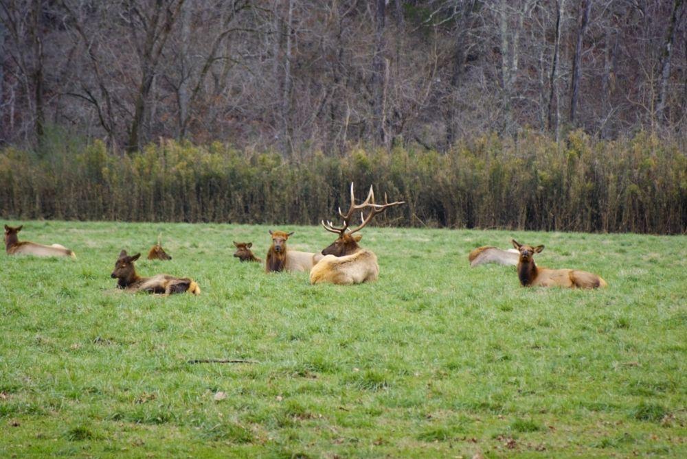 Photo in Animal #elk #animals #camera #dslr #arkansas #boxley valley #field