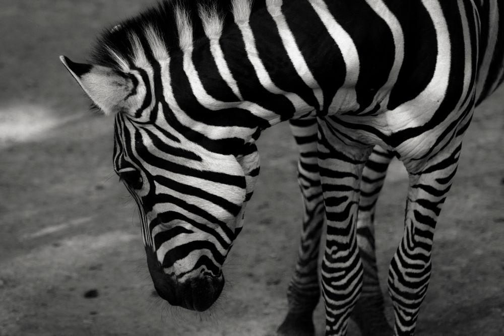 Photo in Black and White #zebra #animal #animals #monochrome #black and white #portrait #black #darkness #zoo #light #shadows