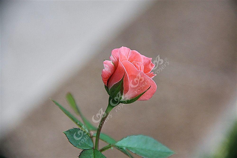 Photo in Random #rose