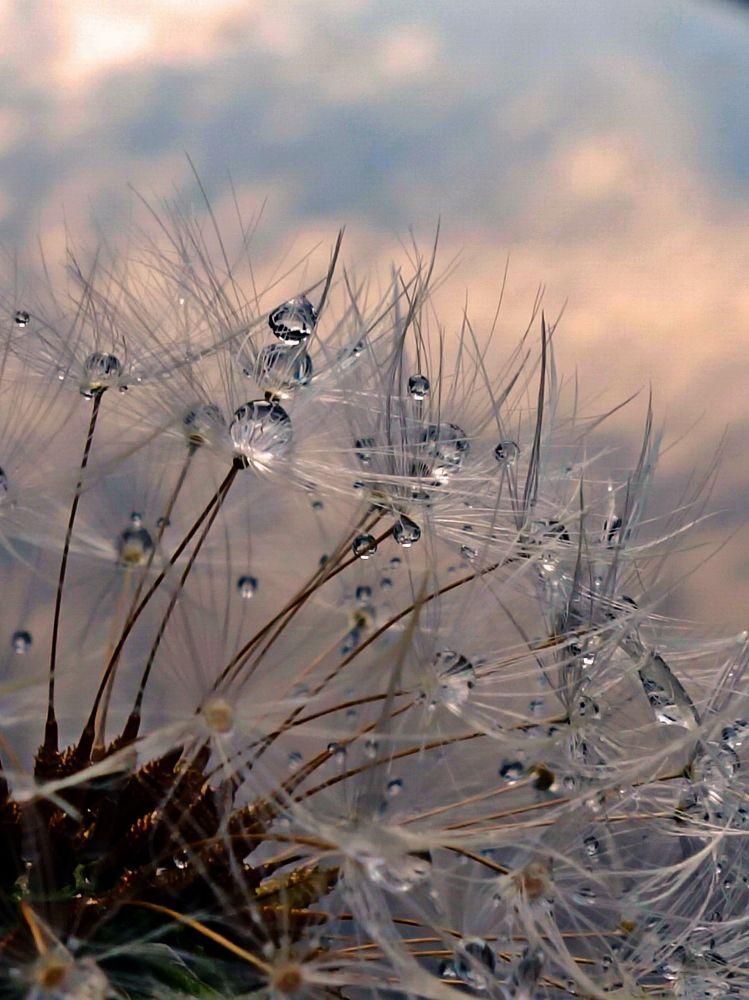 Photo in Macro #dandelion #drops