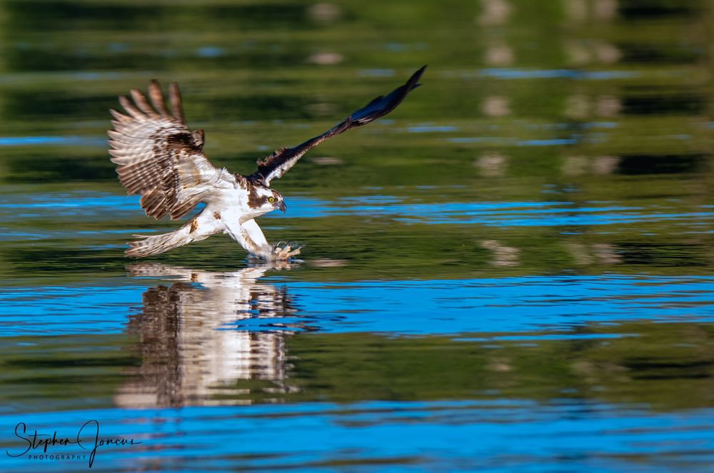 Photo in Nature #osprey #raptor #lake #twin lakes #inchelium #washington state