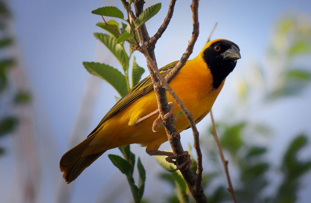 Photo in Animal #bird #animal #wildlife #yellow #yellowbird