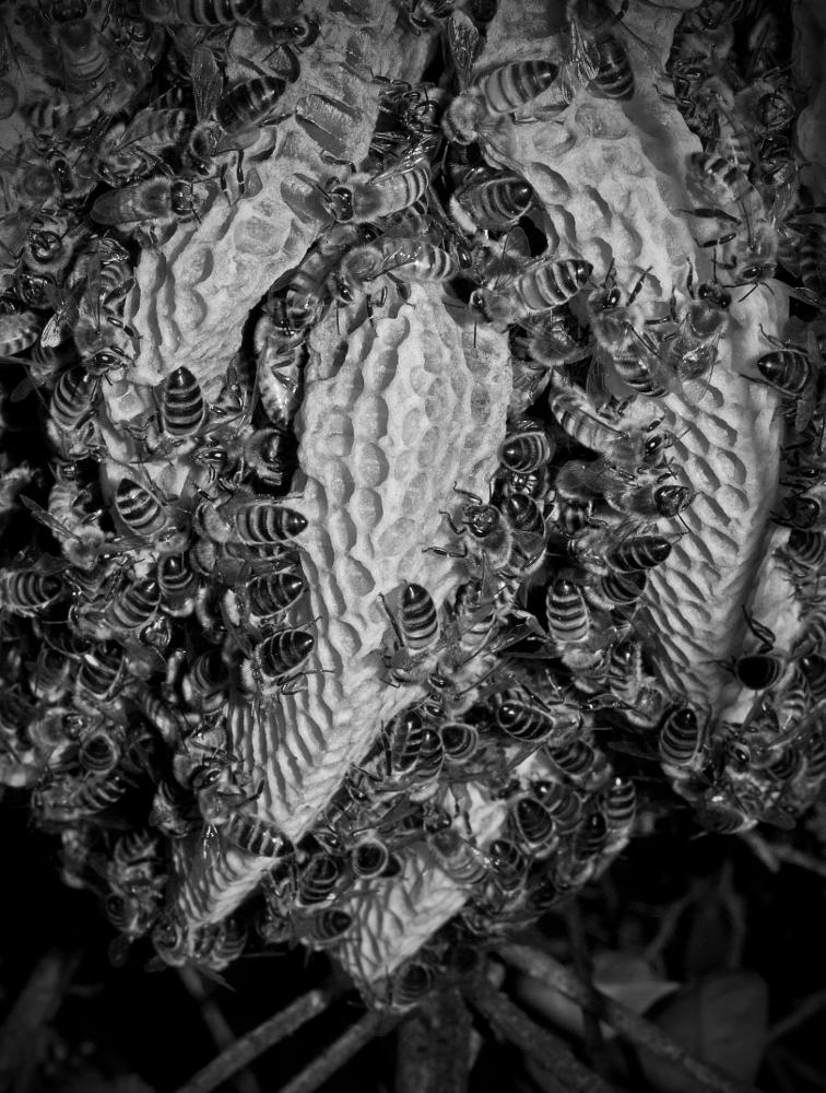 Photo in Nature #bees #bee #bw #insect
