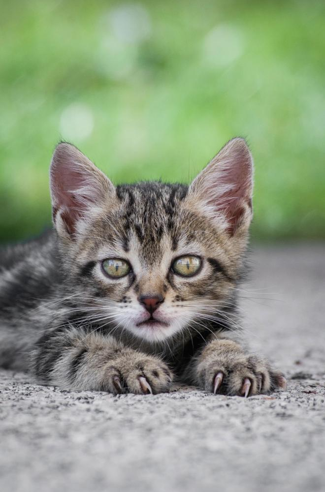 Photo in Animal #ricoh #pentax #k3 #coguar #da 50-200 wr #cat #kittie #cute