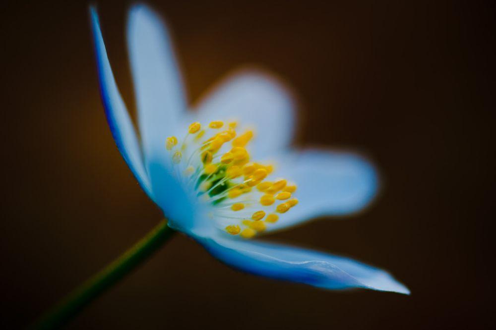 Photo in Macro #wood anemone #macro #flower