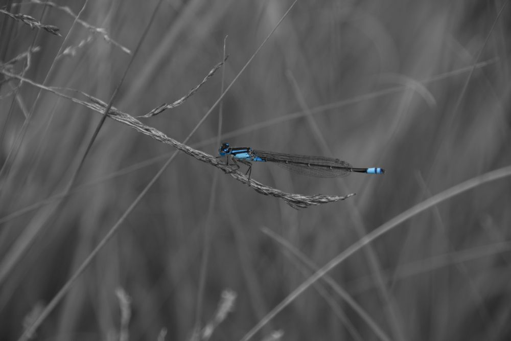 Photo in Animal #damselfly #insect #blue damselfly