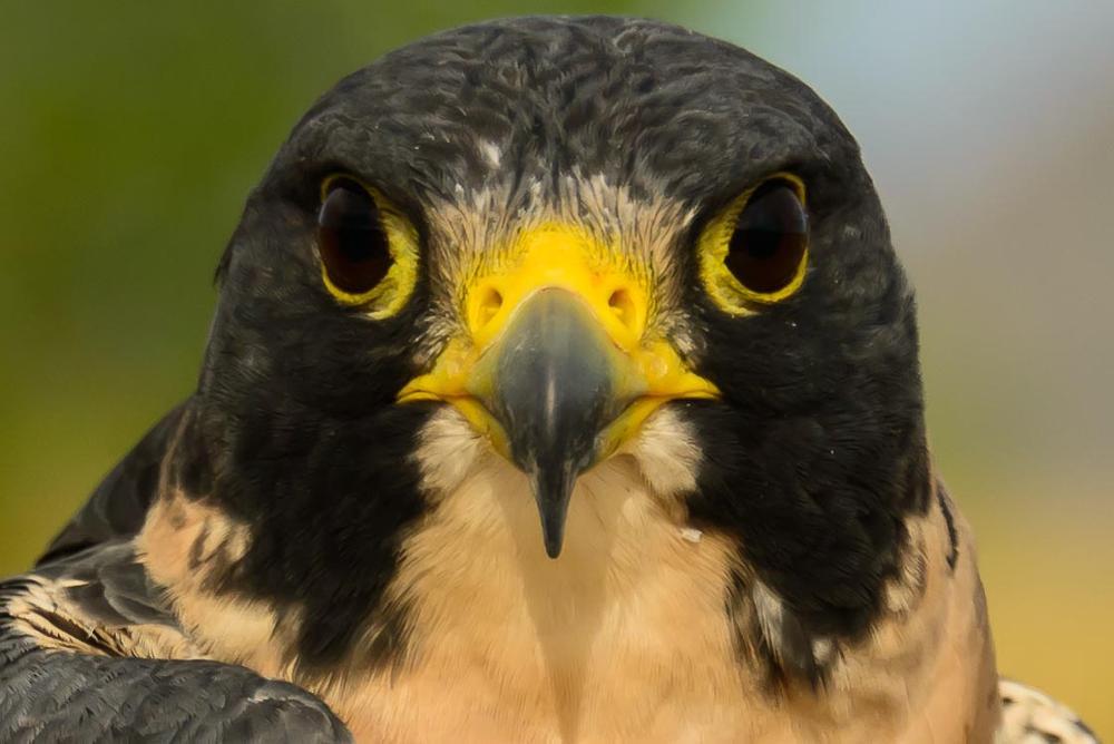 Photo in Animal #hawk #birds of prey #bird