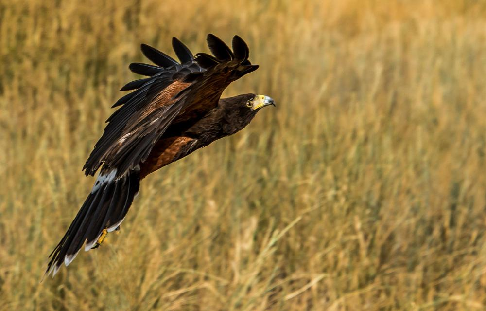 Photo in Random #bald eagle #barn own #bird #birds #birds of prey #denver #denver colorado #eagle #great horned owl #hawk #hawkquest #owls #raptor #raptor birds #usa