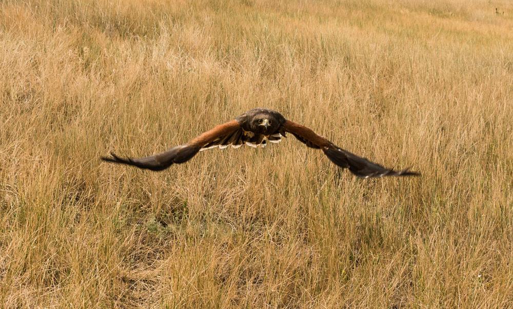 Photo in Animal #bald eagle #barn own #bird #birds #birds of prey #denver #denver colorado #eagle #great horned owl #hawk #hawkquest #owls #raptor #raptor birds #usa