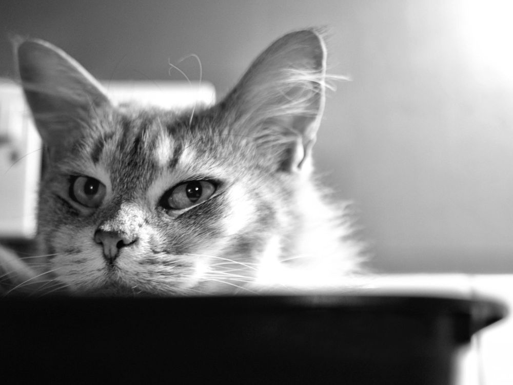 Photo in Animal #cat #pet #maine coon