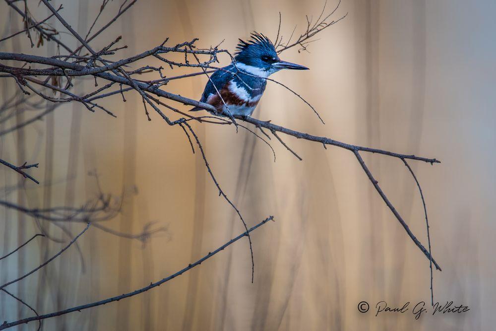 Photo in Animal #birds #belted kingfisher #followme #kodamaxphoto #sparks #nevada