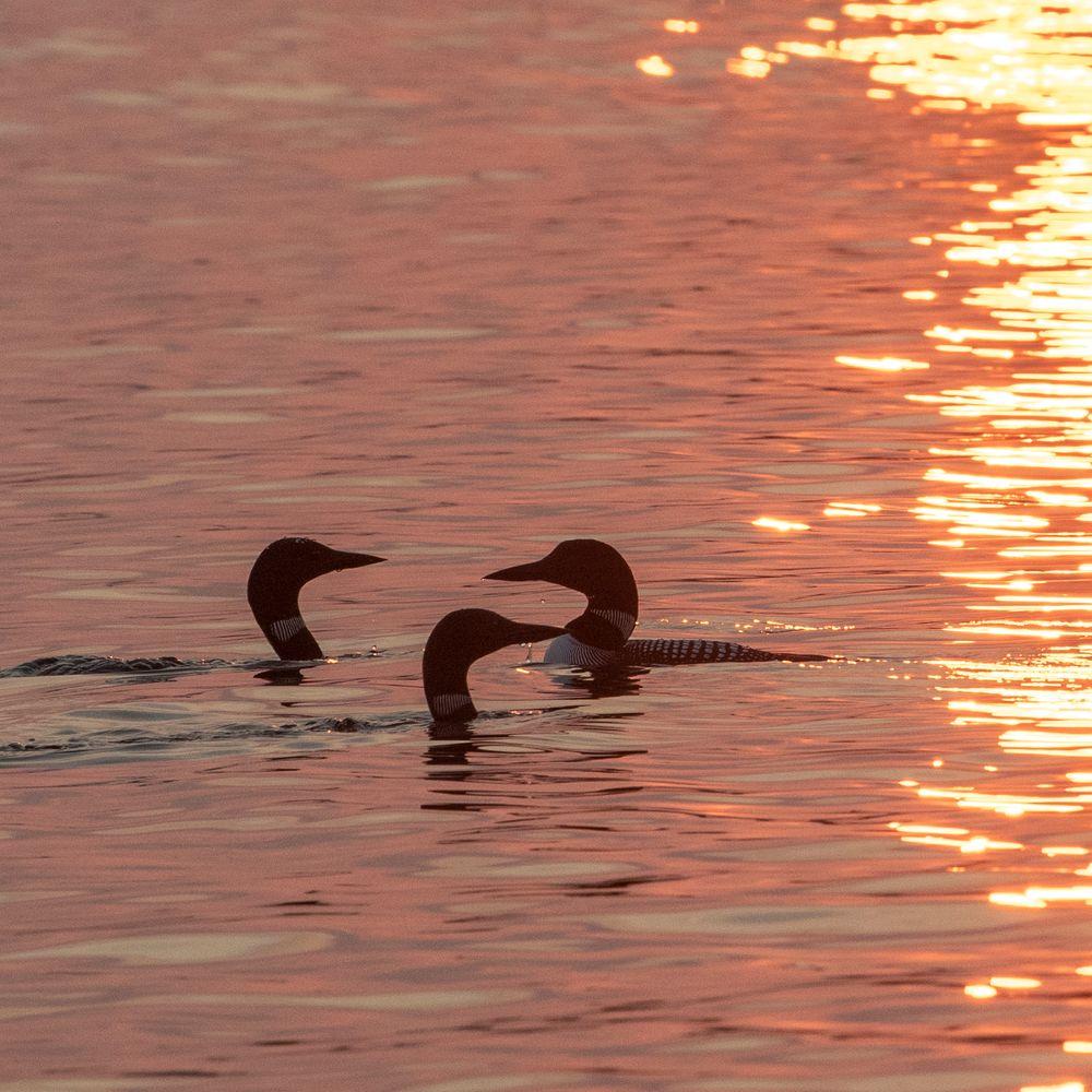 Photo in Random #loons #birds #lake #sunset