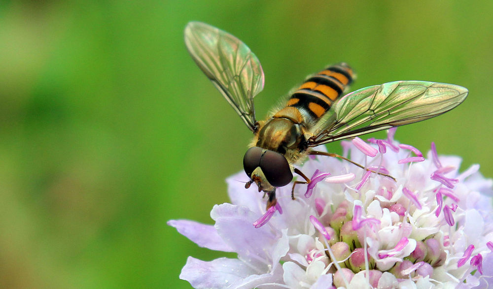 Photo in Macro #hoverfly #close up #nature #bee #bug #flower