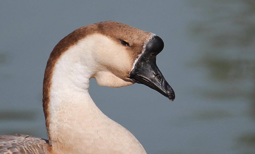Photo in Animal #goose #ornito #liteon #düzce #abdullah durmuş #bird