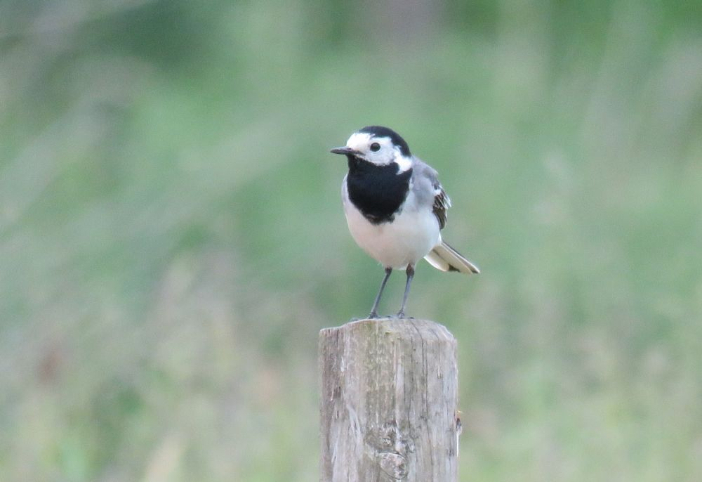 Photo in Nature #wagtail #linerle