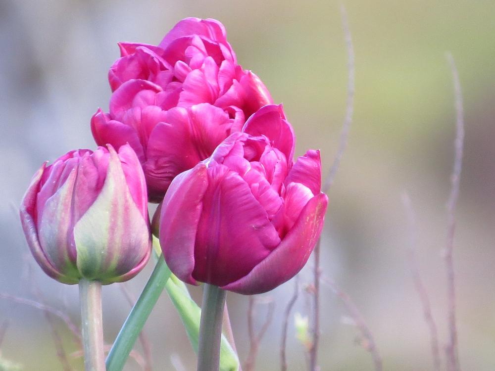 Photo in Macro #flower #tulips #macro