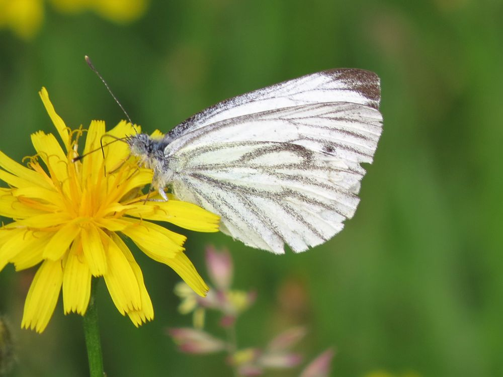 Photo in Macro #whitewings #pieris rapae #liten kålsommerfugl