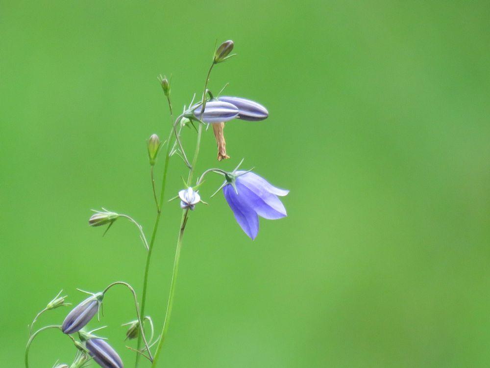 Photo in Nature #bluebell #blåklokke