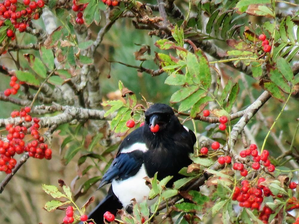 Photo in Nature #magpie #skjære
