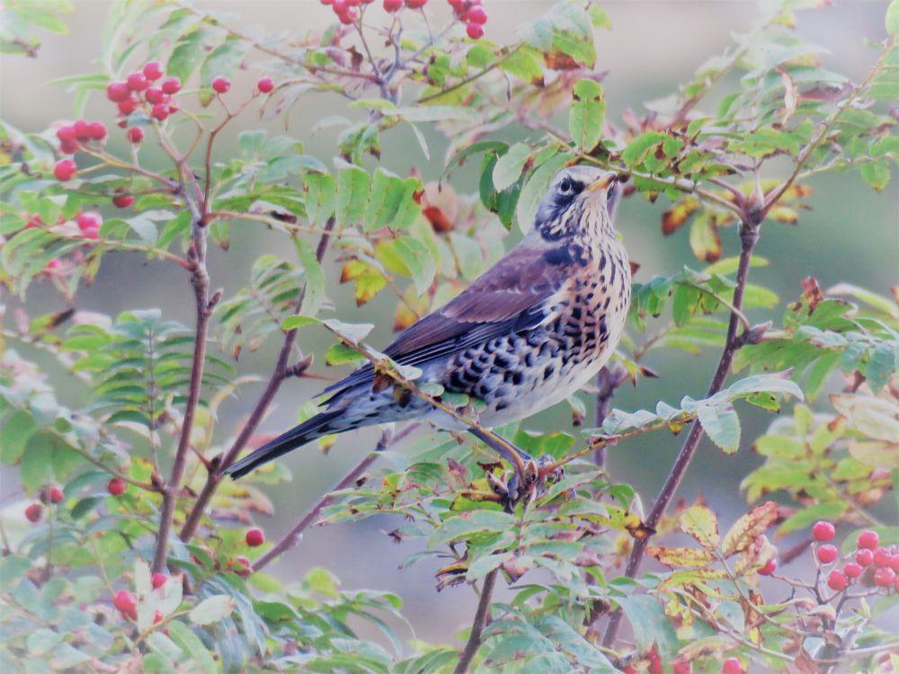 Photo in Nature #bird #rowanberry #rowantree #nature