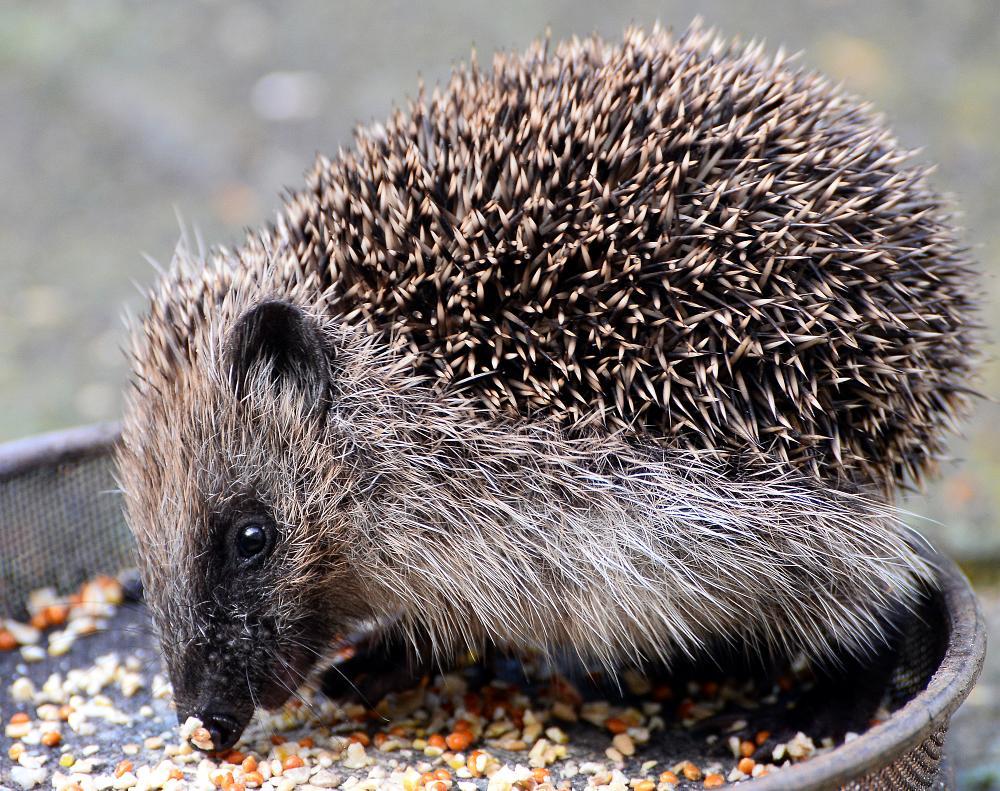 Photo in Nature #hedgehog #nature #wild #garden #nikon