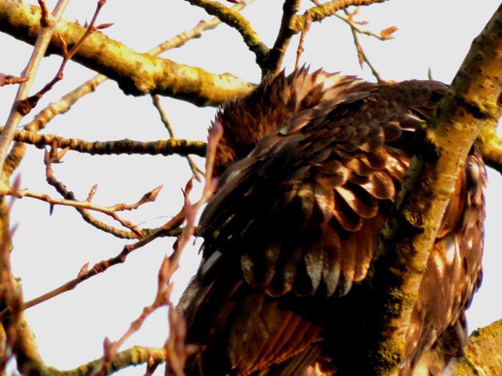 Photo in Animal #golden #eagle #birds