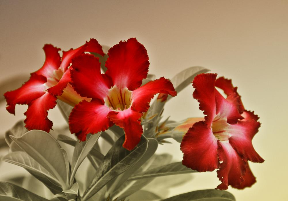 Photo in Nature #three #red #flower #nature