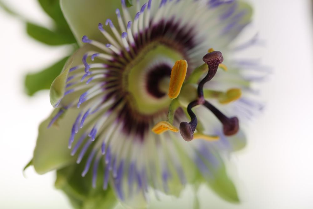 Photo in Nature #passiflora #passion fruit #plant #clock #flower #yumusakkaya #what time is it