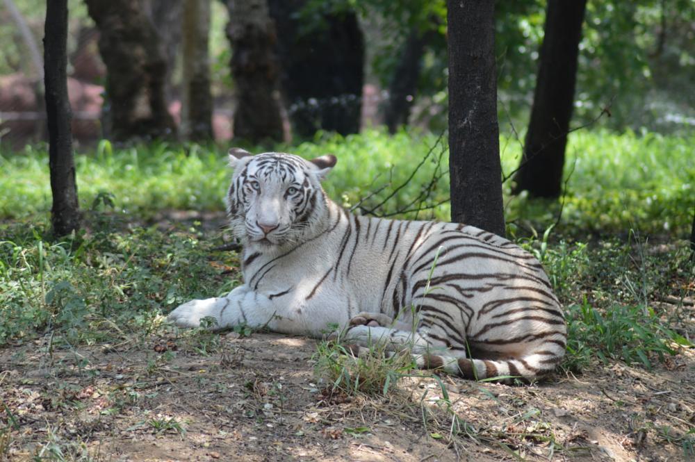 Photo in Random #tiger #white tiger #wild #nature