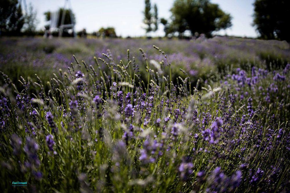 Photo in Landscape #lavender #garden