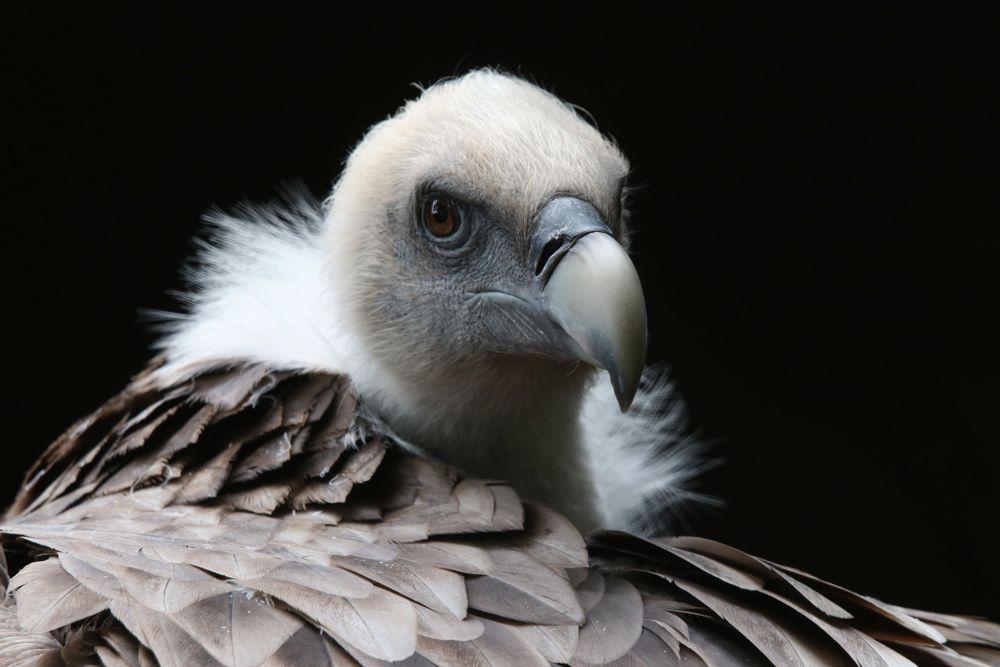 Photo in Random #vulture #griffonvulture #animals #bigbirds #birds #artisnaturamagistra #artis #wildlife #nature