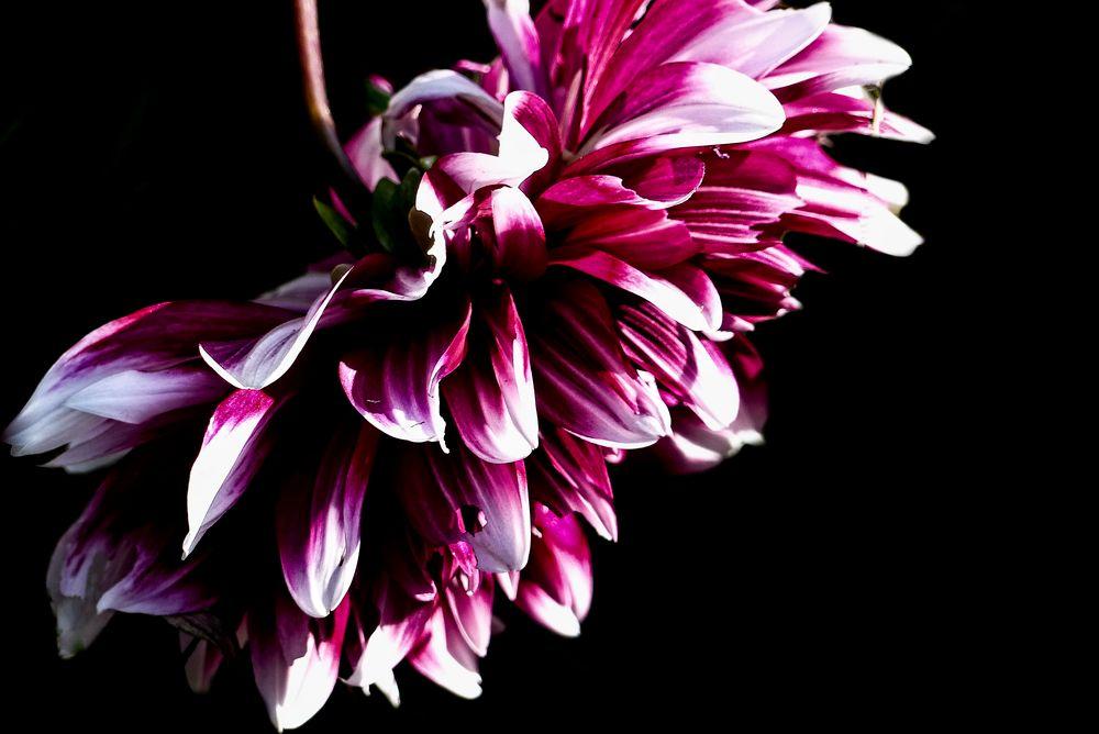 Photo in Macro #dalia #flower #garden #nature #autumn #macro #jadwiga trzeszkowska #warszawa #polska #panasonic lumix