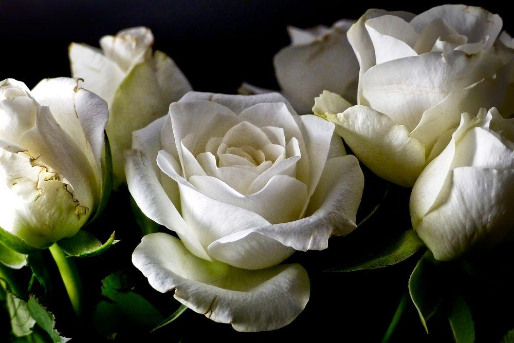 Photo in Macro #róże #roses #kwiaty #flowers #studio #macro #jadwiga trzeszkowska #warszawa #polska