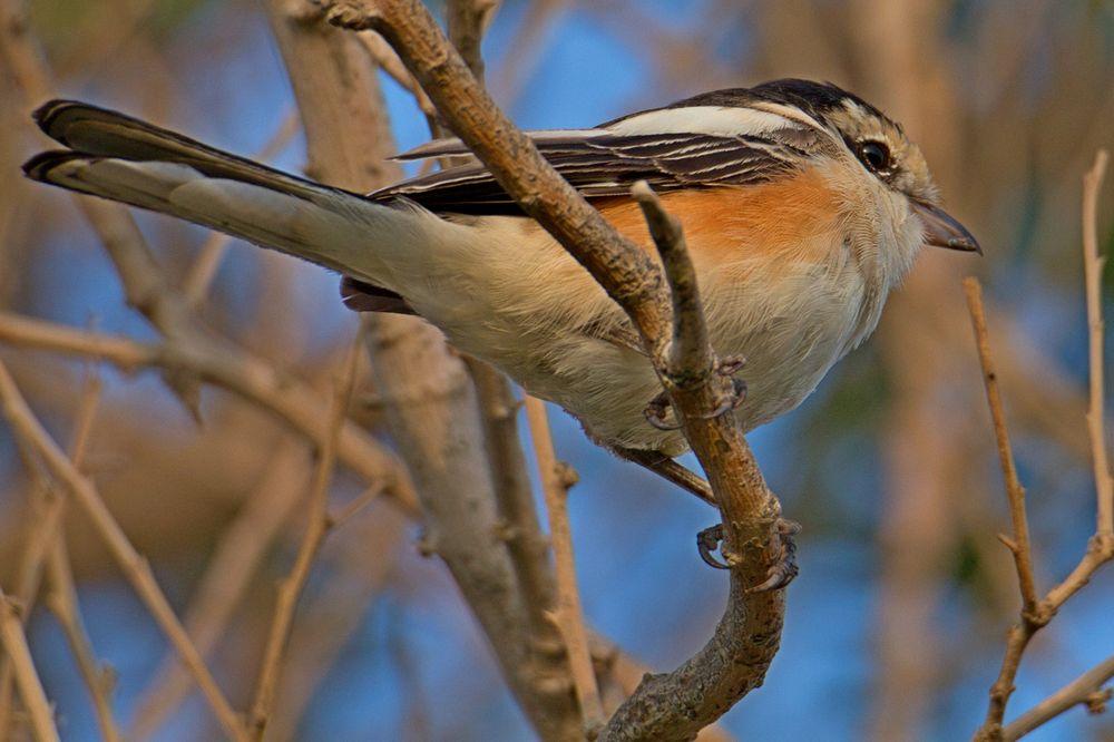 Photo in Nature #shrike #closeup #600mm #tamron #birdlife #birding #smallbirds #treebranches #textures
