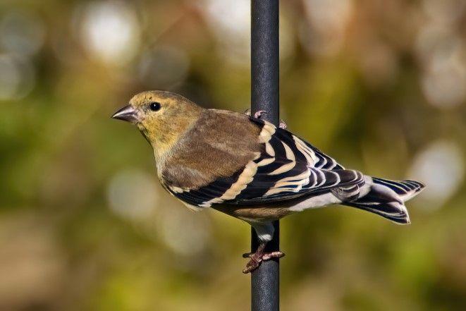 Photo in Animal #animal #bird #american goldfinch