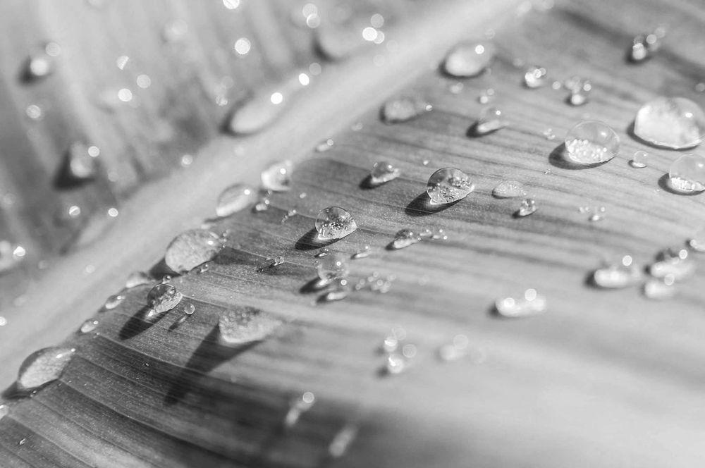 Photo in Nature #black and white #monochrome #macro #close up #photographer #photography #photo editing #editing #nature #leaf #banana #plant #plants #banana leaf #waterdrops #beautiful #inspiration #sugarhigh studio #sugarhigh #studio #indoor #photoshoot #home #house #plants #decoration #urban #jungle #nikon