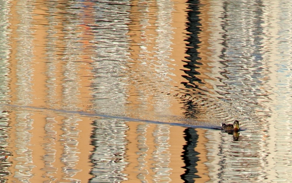 Photo in Abstract #abstract #animal #animals #duck #water #lake