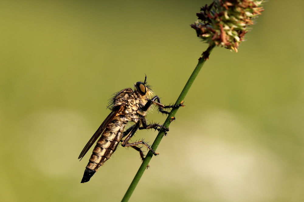 Photo in Animal #hunting fly #fly #nature #macro