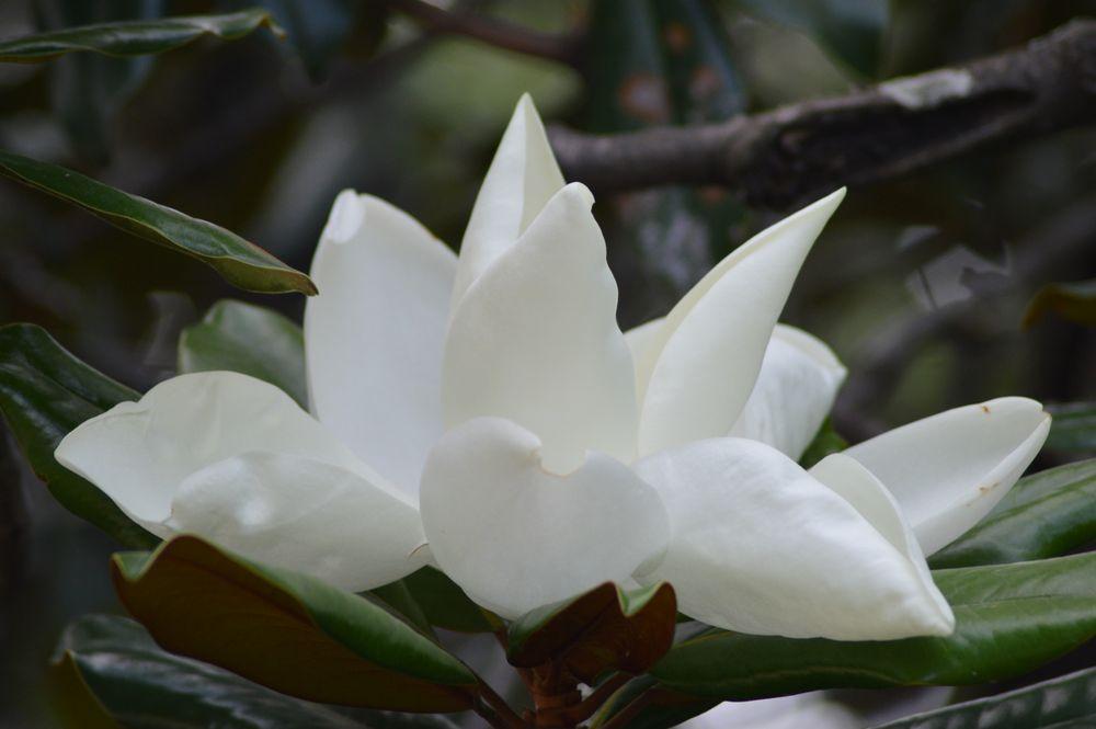 Photo in Random #flor #magnolia #árbol #naturaleza