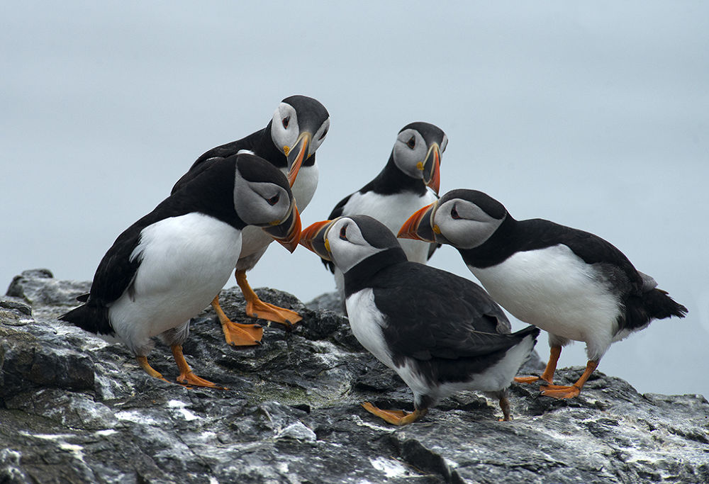 Photo in Nature #puffins #mini conference #birds #nature #northumberland