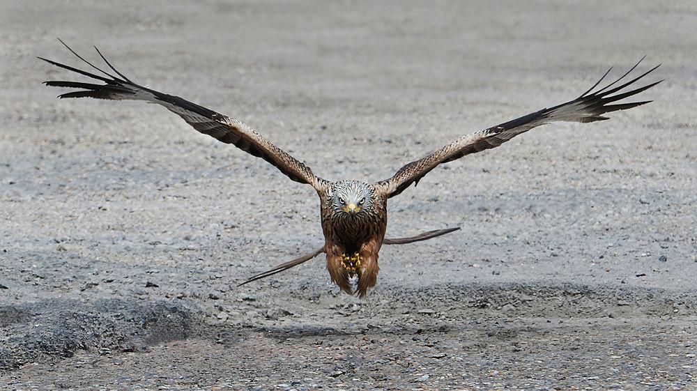 Photo in Nature #red kite #bird #nature #flight