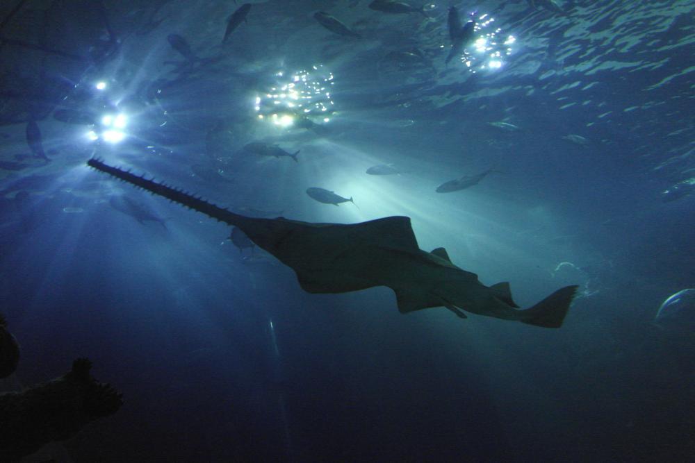 Photo in Underwater #sawfish #shark #water