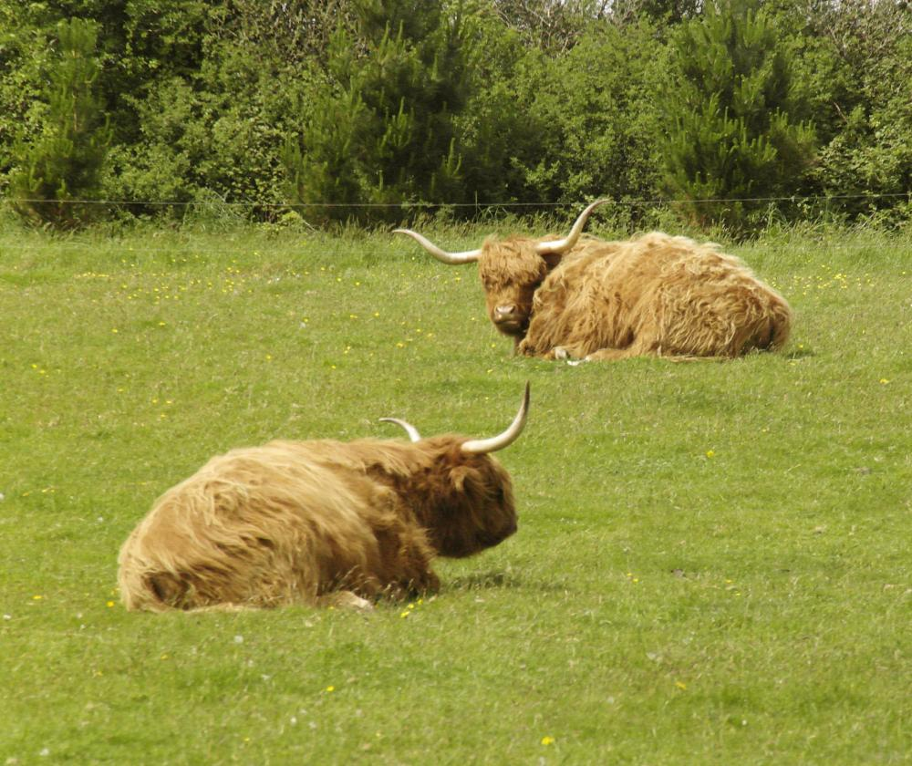 Photo in Animal #cow #highland cow #cattle