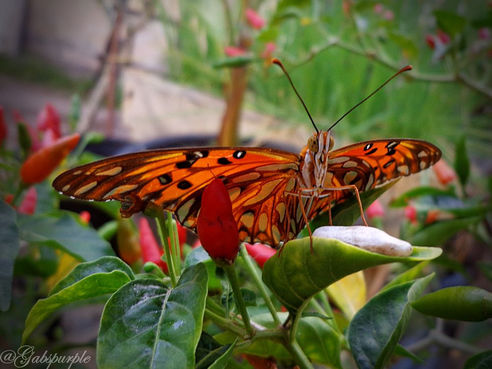 Photo in Animal #butterfly #beautiful #colors #animal #garden #insect