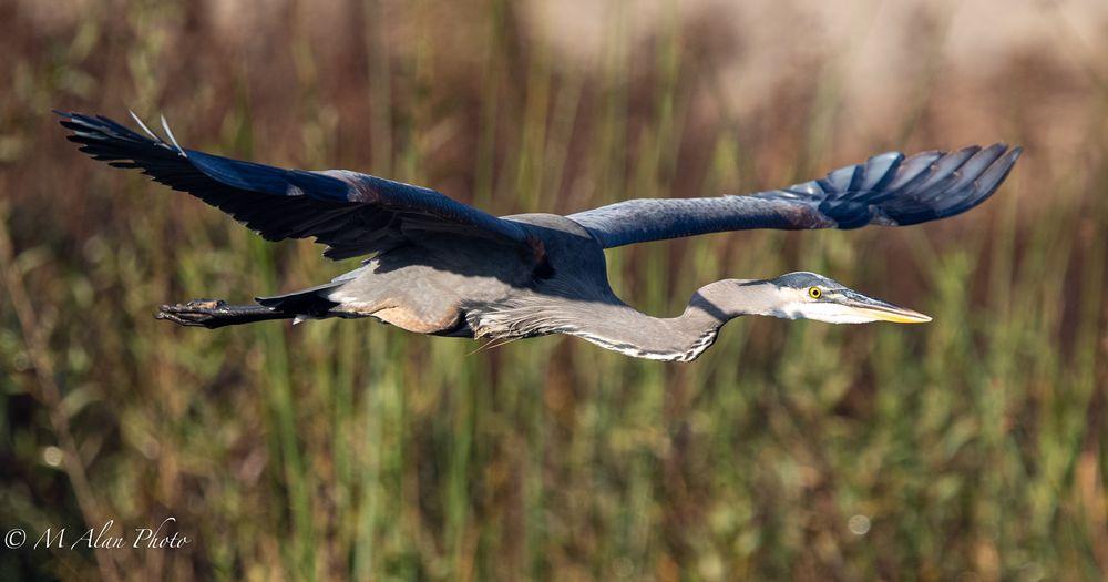 Photo in Animal #greatblueheron #shorebirds