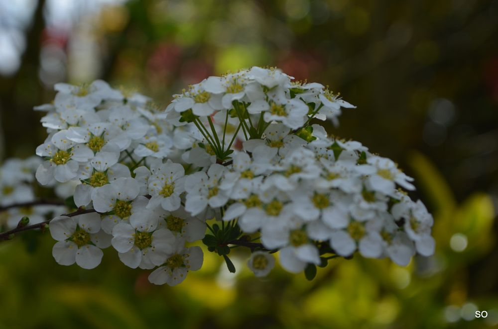 Photo in Nature #springcontest #white #beautiful #flowers