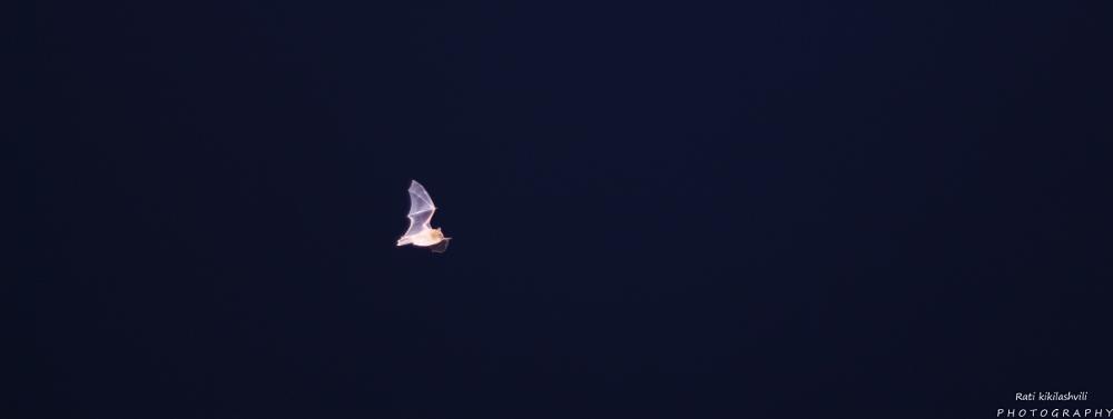 Photo in Animal #bat #night #flight