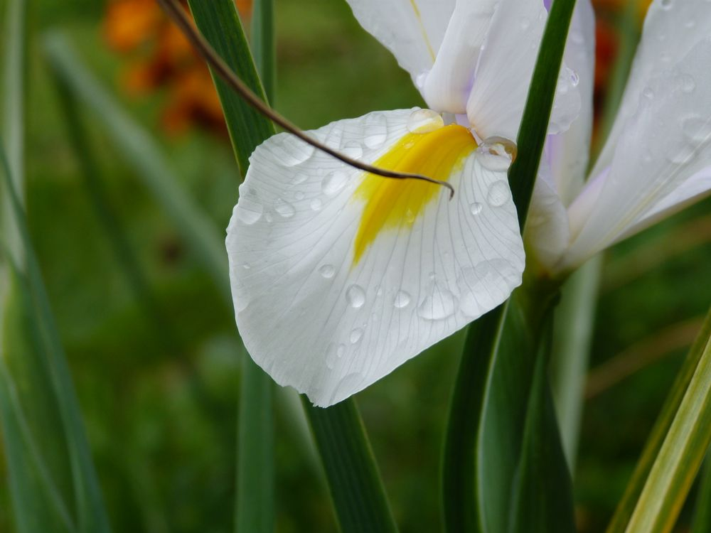 Photo in Nature #iris #flower #macro #color