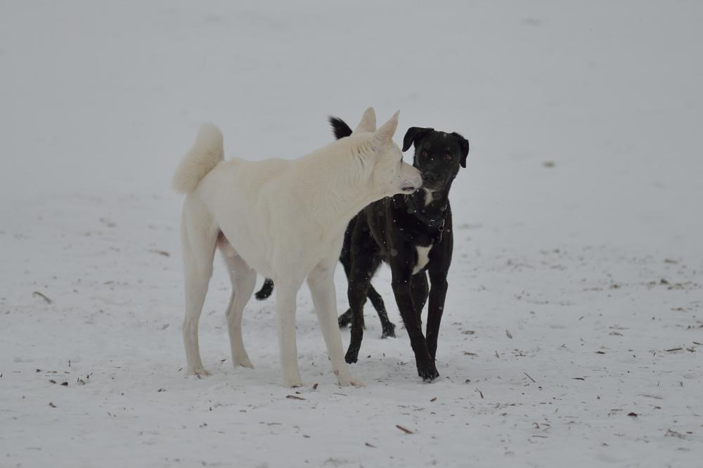 Photo in Animal #dog #dogs #meeting #black and white